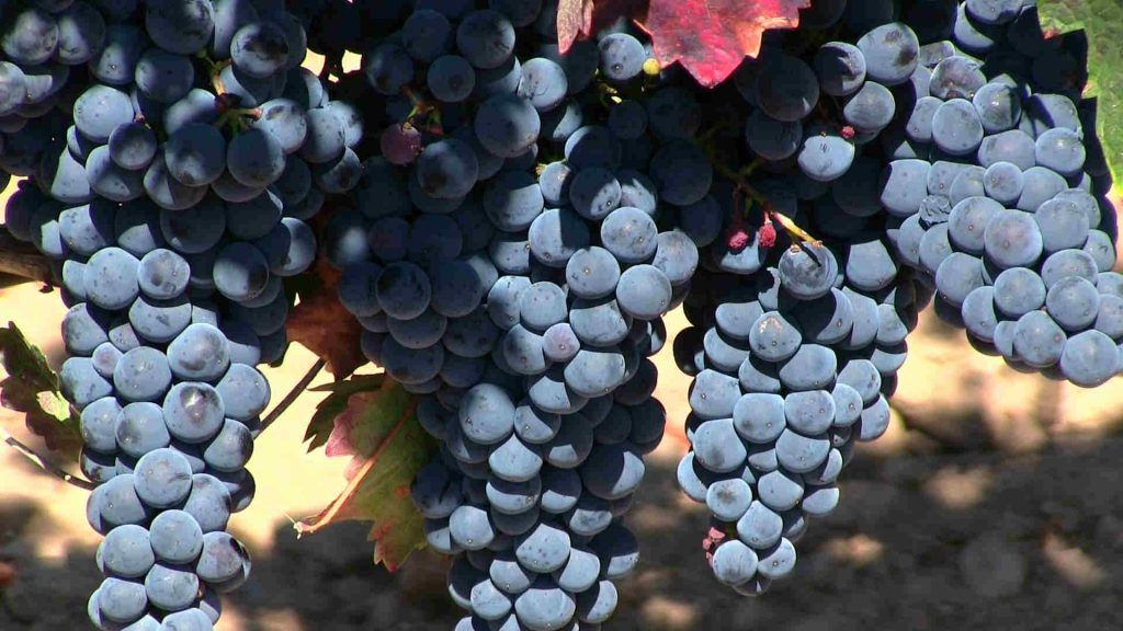 grapes rioja wine Spain and Portugal Tour